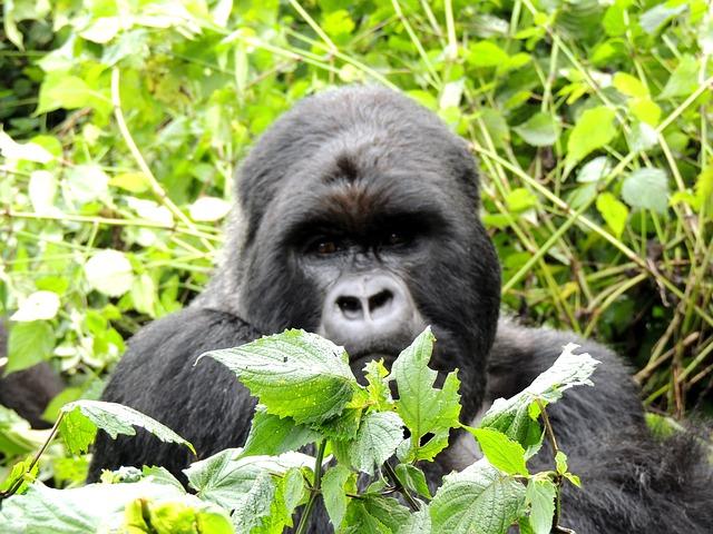 gorille-rwanda2